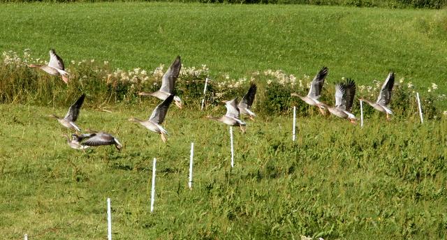 En gåsflokk på flott hold skremmes opp fra kubeitet før jakten.